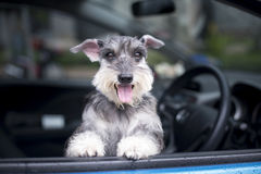 Happy dog in a car. Happy dog in a car Royalty Free Stock Photos