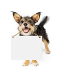 Happy Dog Carrying Blank Sign. Happy small breed dog carrying blank white sign in mouth. Motion blur showing wagging tail stock images