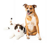 Happy Dog and Cat Sitting Together. Happy and smiling mixed breed dog and calico cat sitting together Royalty Free Stock Photography