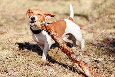 Happy dog chewing big wood stick outside. Dog cleaning tooth by gnawing wood Stock Images
