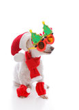 Happy dog at Christmas wearing comical glasses santa hat and cos. Happy dog wearing a santa hat, comical Christmas glasses and scarf and leggings Royalty Free Stock Photography