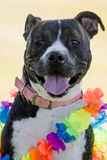 Happy Dog with a colorful lay Stock Images