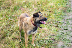 Happy Dog. In countryside field Stock Photography