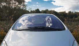 Happy dog drives the car Stock Images