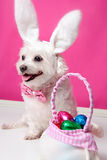 Happy dog at easter. Happy dog wearing bunny ears sits beside a bag ful of easter egg chocolates stock photo