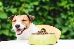 Happy dog eating kibble dog food from bawl behind table stock photo
