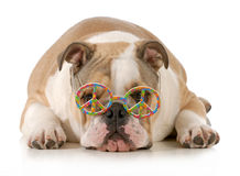 Happy dog. English bulldog wearing peace sign glasses laying down isolated on white background Royalty Free Stock Photography