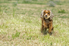 Happy Dog English cocker spaniel while running to you Stock Photography