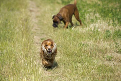 Happy Dog English cocker spaniel while running to you Stock Images