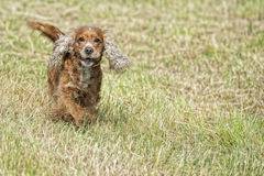 Happy Dog English cocker spaniel while running to you Royalty Free Stock Photos