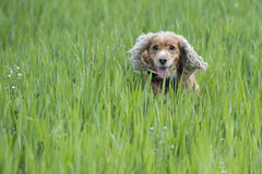 Happy Dog English cocker spaniel while running to you Stock Photos
