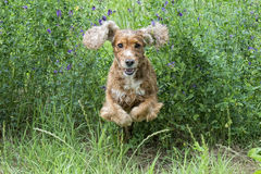 Happy Dog English cocker spaniel while running to you Royalty Free Stock Photography
