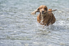 Happy Dog English cocker spaniel while running to you Royalty Free Stock Images