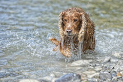 Happy Dog English cocker spaniel while running to you Royalty Free Stock Photo