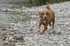 Happy Dog English cocker spaniel while running to you Stock Image