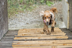 Happy Dog English cocker spaniel while running to you Stock Photo