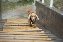 Happy Dog English cocker spaniel while running to you Royalty Free Stock Image