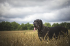 Happy dog in the evening field Stock Photos