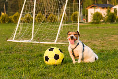 Happy dog after football game. Jack Russell Terrier sitting with a ball Royalty Free Stock Photos