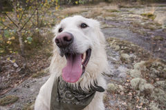 Happy dog in the forrest. White happy dog in the wild forrest Stock Photography