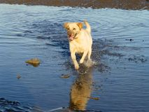 Happy dog. Royalty Free Stock Photography