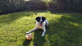 Happy dog in the garden. I'm just waiting for you to take the ball Royalty Free Stock Images