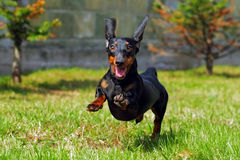 Happy dog German haired dwarf Dachshund playing in the back yard. Running and jumping in the summer on the grass Stock Photography