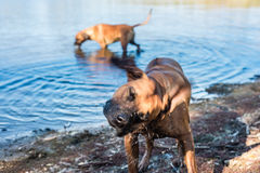 Happy dog getting dirty in the dam, Stock Photography