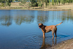 Happy dog getting dirty in the dam, Royalty Free Stock Photo