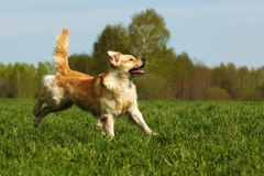 Happy dog Golden Retriever jumps Stock Image