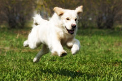 Happy dog Golden Retriever quickly runs and jumps Stock Photo