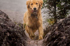 Happy dog Golden Retriever running.  Royalty Free Stock Images