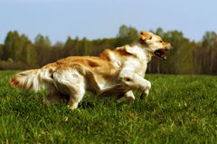 Happy dog Golden Retriever runs. Young happy dog Golden Retriever with joy quickly runs across the grass Stock Photography