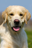 Happy dog Golden Retriever in the summer on a sky background Stock Photos