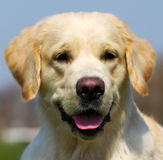 Happy dog Golden Retriever in the summer on a sky background Royalty Free Stock Photography