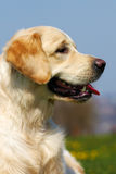 Happy dog Golden Retriever in the summer on a sky Stock Photo