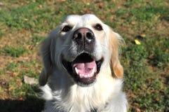 Happy Dog. Golden Retriever a very happy looking dog, close-up Royalty Free Stock Photos