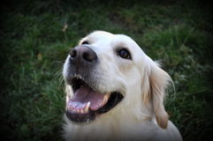 Happy Dog. Golden Retriever a very happy looking dog, close-up Royalty Free Stock Photo