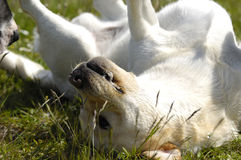Happy dog in the grass Royalty Free Stock Photos