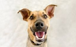 Happy Dog. Is a very excited happy looking dog with a great big smile on his face Royalty Free Stock Images