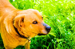 Happy Dog In Heavenly Village House Garden Stock Images