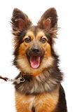 Happy dog with her mouth open Royalty Free Stock Photo