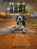Happy dog. A happy hound rests by the fireplace stock images