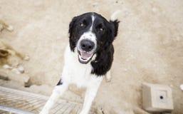 Happy dog hunter Stock Photography