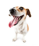 Happy dog jack russel terrier with huge smile Stock Image