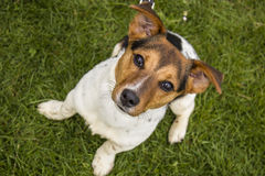 Good Boy. Happy dog, A Jack Russell Terrier looking forward to his daily walk stock images