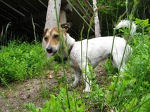 Happy dog. Jack Russell on a walk Royalty Free Stock Image