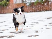 Australian shepherd puppy. Happy dog is joyfully running in fresh snow. Beautiful Australian shepherd puppy playing outside in cold winter snow Royalty Free Stock Photo
