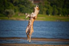 Happy dog jumping up in the water Stock Photo