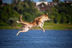 Happy dog jumping up in the water Stock Photos